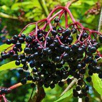 fekete bodza termés